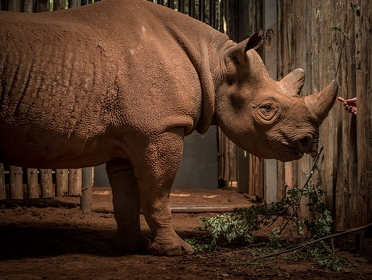 Qatar Airways Cargo transports 'Eric', a black rhino to Tanzania