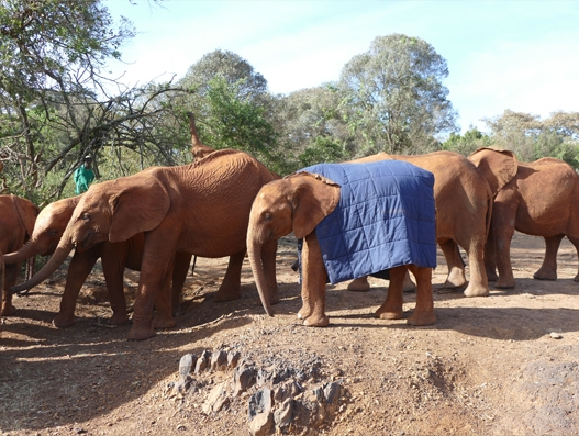IAG Cargo in charitable transport of blankets for young elephants