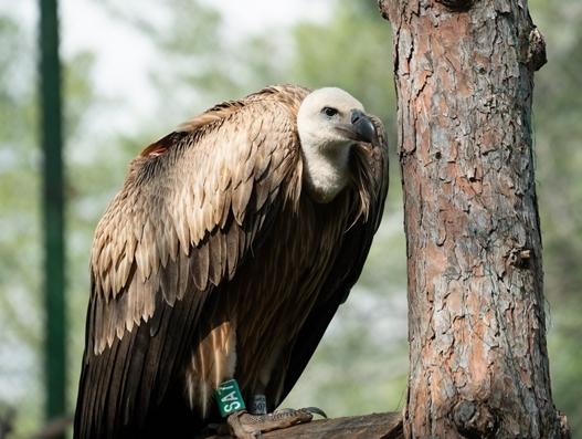 How Turkish Cargo transported Dobrila the endangered griffon vulture