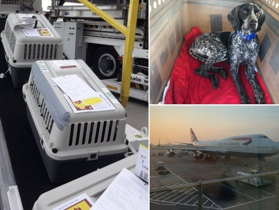 IAG organised special flight for rescue dogs, cats