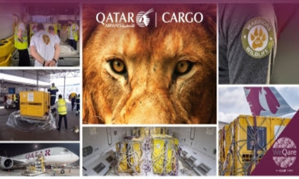 QR Cargo returns seven rescued lions to their natural habitat as part of WeQare programme