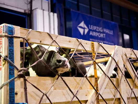 165 cattle transported from Leipzig/Halle Airport