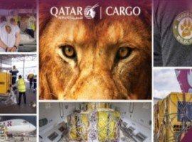 By helping the NGO Warriors of Wildlife (WOW), Qatar Airways Cargo kept its promise to fly lions to their natural habitat for free.