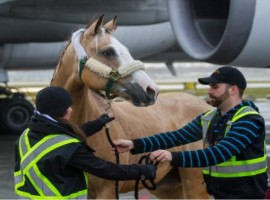 Intradco Global, the equine, livestock and exotics transportation air charter specialist, has expanded into Canada and the United Arab Emirates