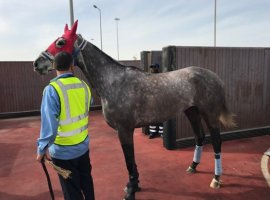 Jan 21, 2019: Turkish Cargo, the cargo division of Turkey%u2019s flag carrier Turkish Airlines, recently completed two different special cargo operations on January 14 to safely transport 17 horses to Istanbul and Dubai. The first operation involved transporting a total of 15 foals and horses from Chicago to Istanbul with the assurance of Turkish Cargo […]