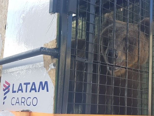 Yet another urso makes its way from Salvador to Sao Paulo aboard LATAM Cargo