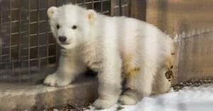 Kali-Polar-Bear480x250