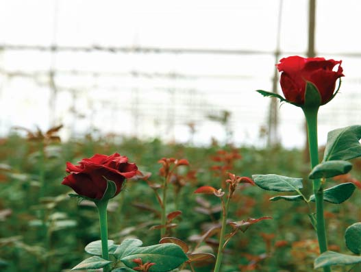 The long journey of Valentine Roses
