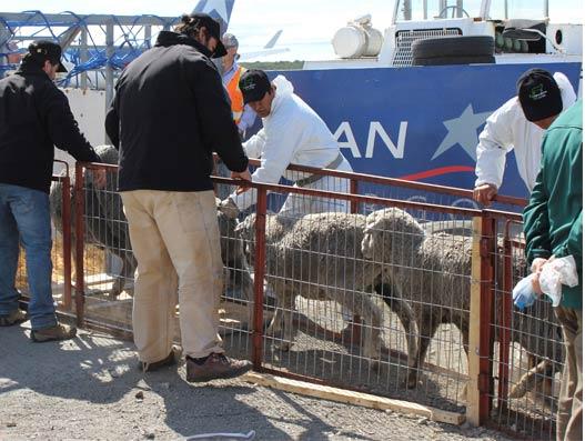 LAN CARGO transports more than 2,000 sheeps to Ecuador